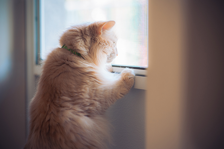 Ginger tabby cat looking out the window