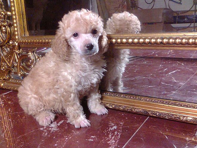 cute poodle pet
