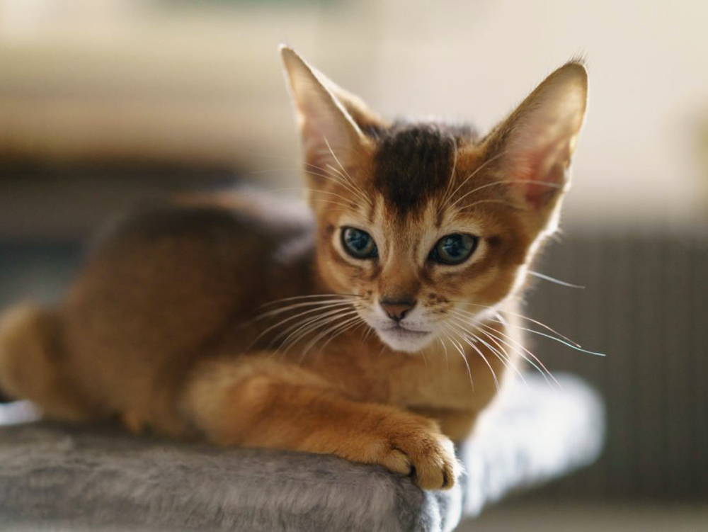 photo of Abyssinian cat race