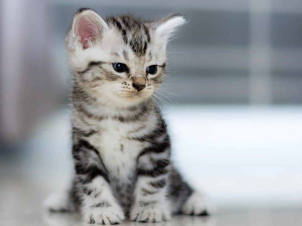 photo of American shorthair cat race
