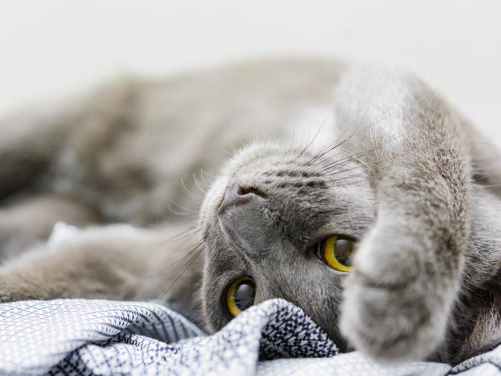 photo of Korat cat