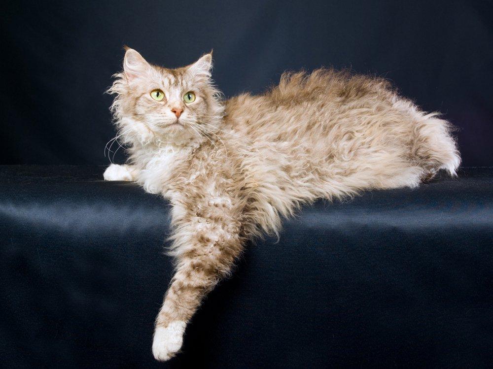 photo of LaPerm cat race