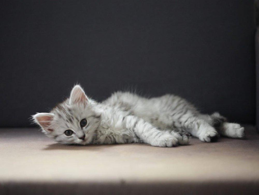 photo of Norwegian Forest Cat