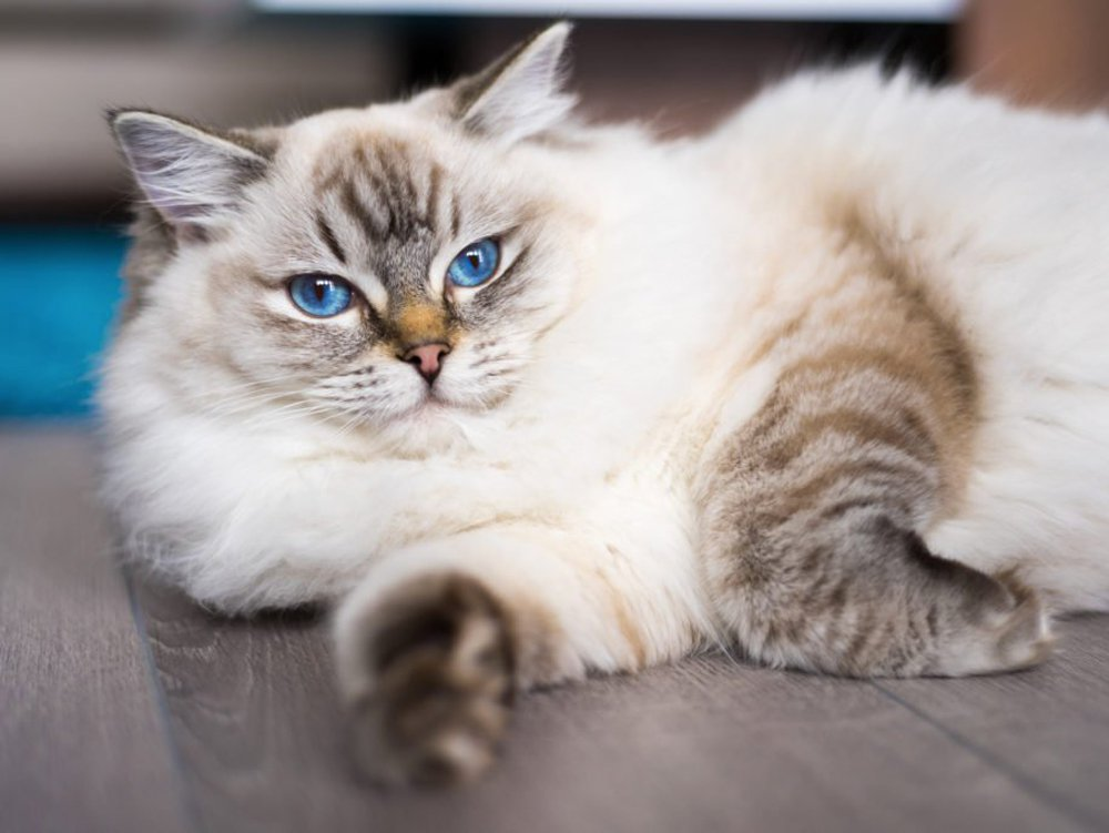 photo-of-Ragdoll-cat-race
