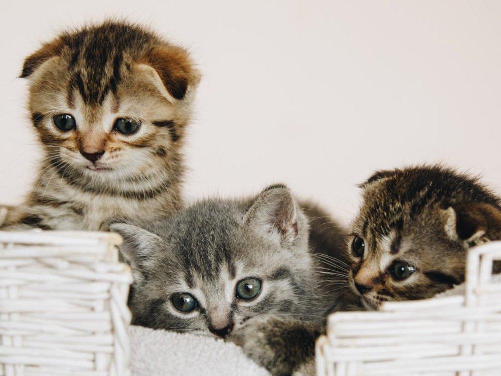 photo of Scottish Fold cat race