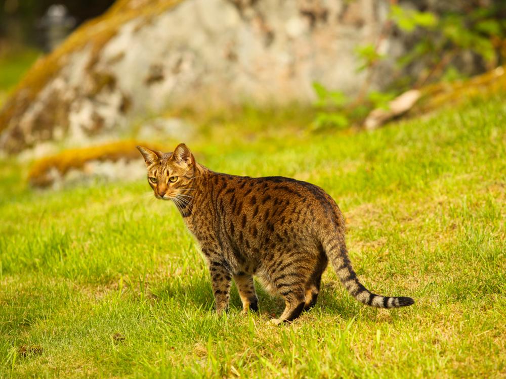 photos of Ocicat cat Race