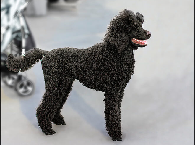 royal poodle black color