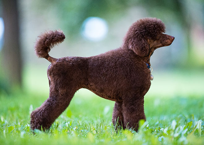 royal poodle brown color