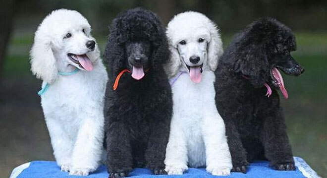 white and black harlequin  Royal breed poodle