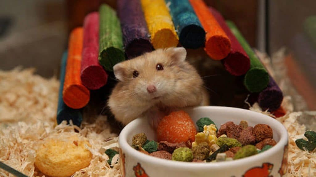 A balanced diet plays an important role in the life span of a hamster