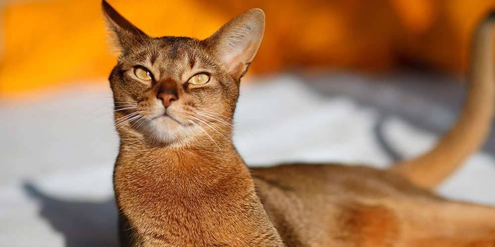 Abyssinian cat type
