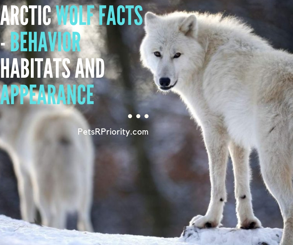 Arctic Wolf Facts - Behavior Habitats and Appearance