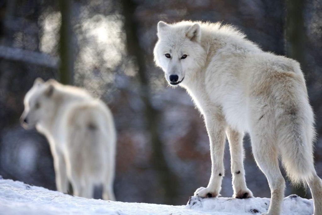 Arctic Wolf's Habits and behavior