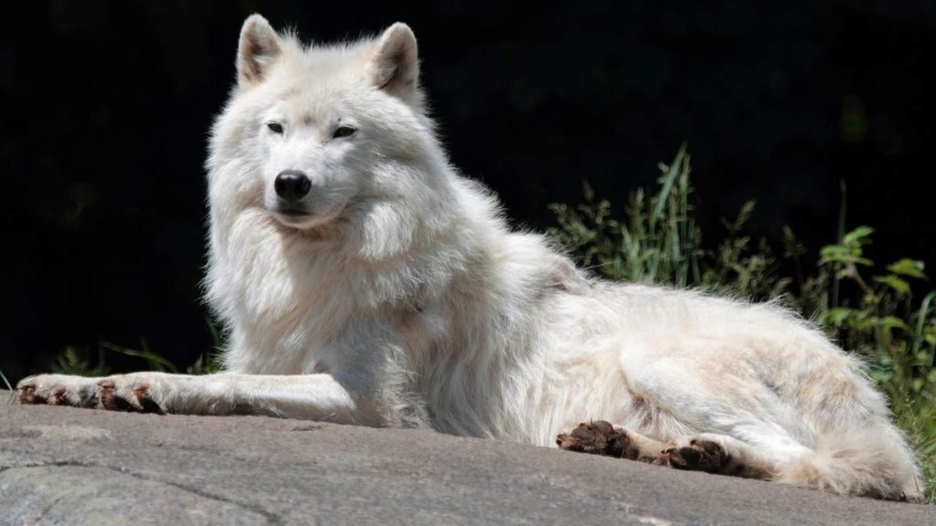 Arctic wolf is fearless