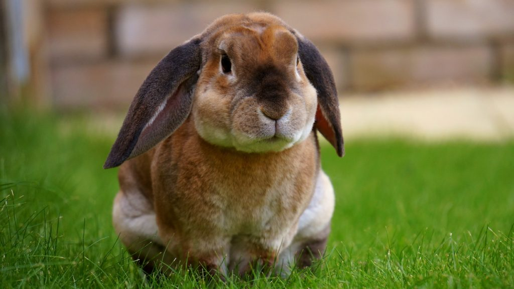 Bunnies as Pets Pros and Cons