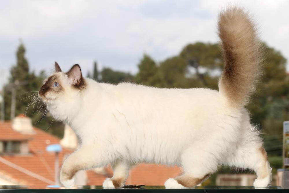 Burmese cat type