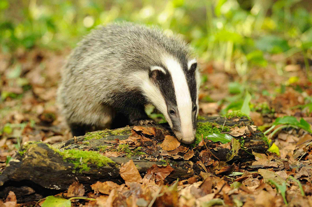 Enemies and threats - Badgers