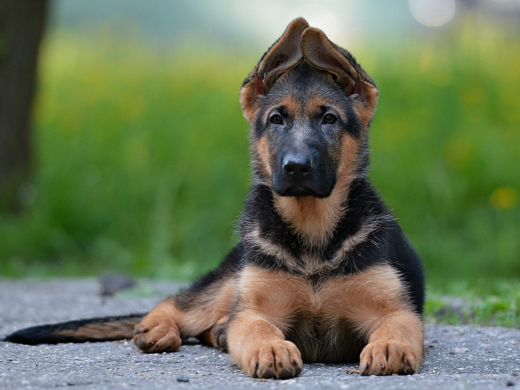 German shepherd nickname