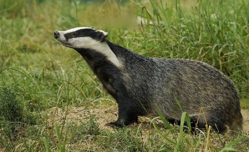 Habits and Behavior of Badgers