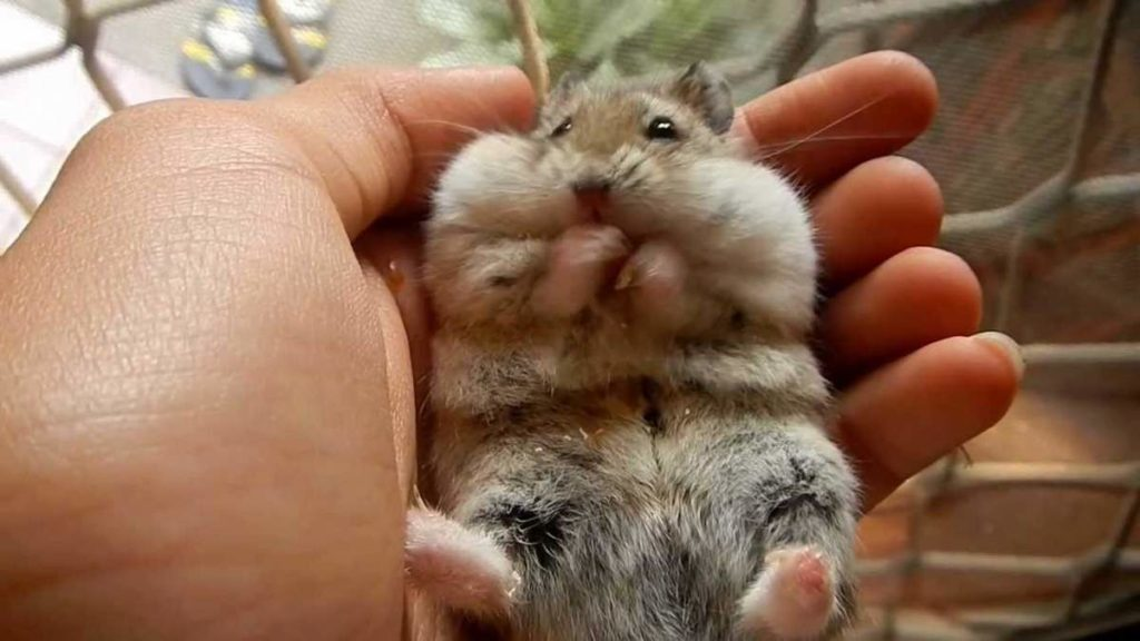 Hamsters As Pet For kids