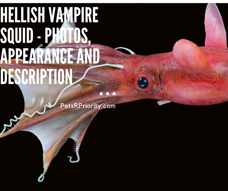 Hellish vampire Squid - Photos, Appearance and Description