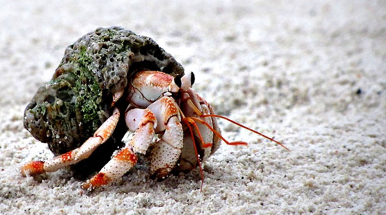 Hermit Crab's Shell