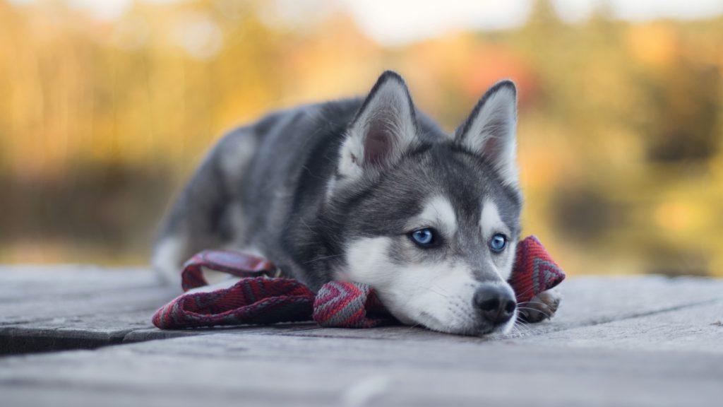 Husky character