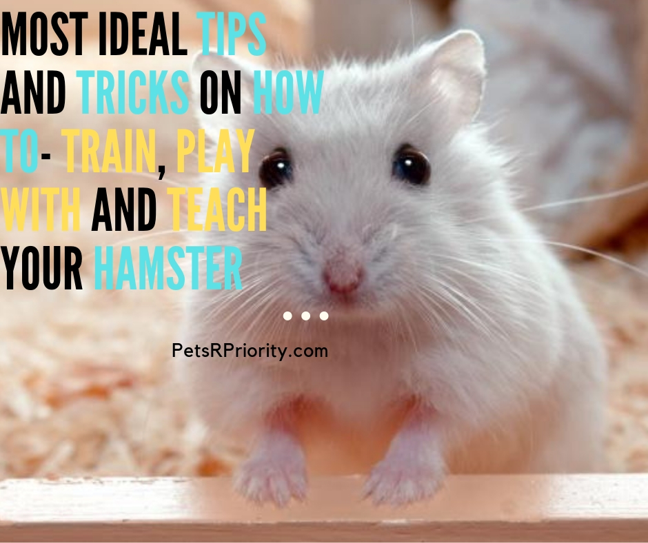 Most Ideal Tips and Tricks on How To – Train, Play With and Teach Your Hamster