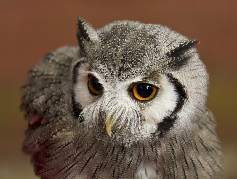 Myth about ears Eared owls