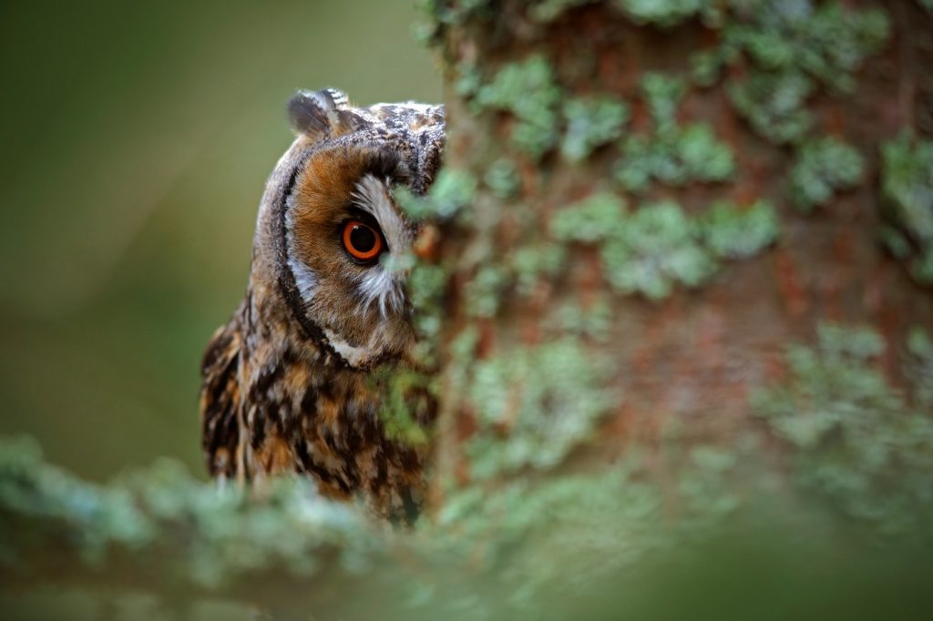Myth about the eyes Owls