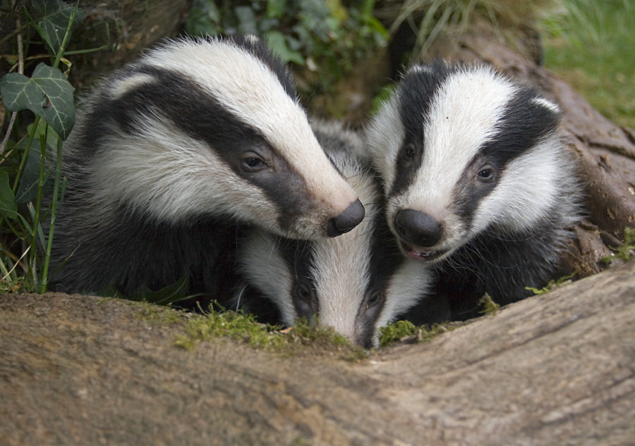Reproduction and longevity Badgers