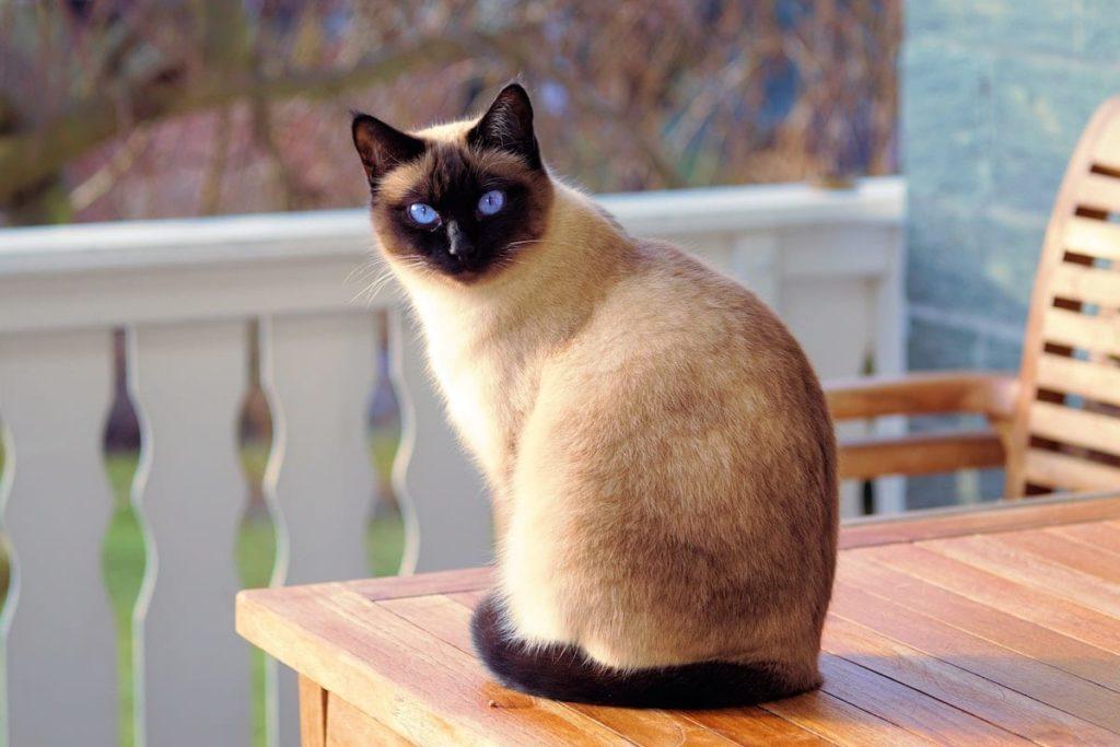 Siamese cat type