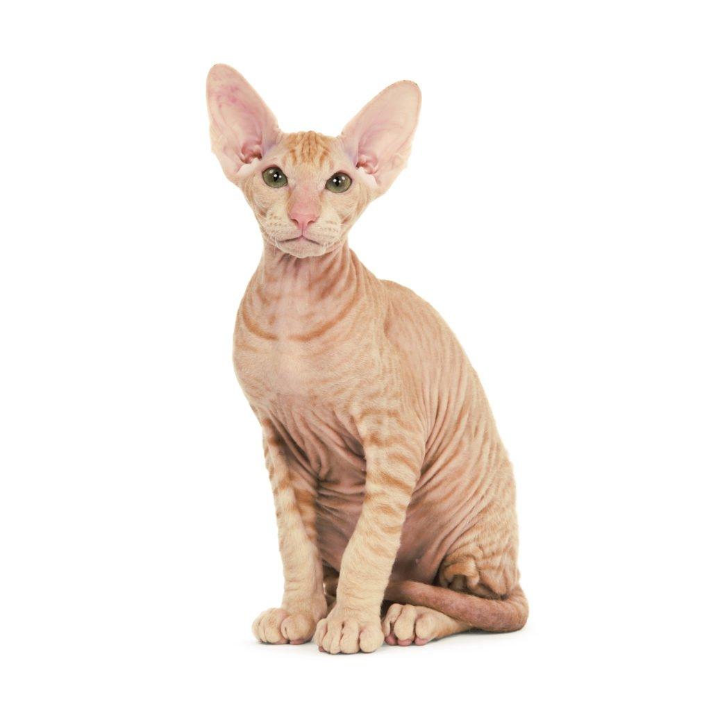 Sphinx cat type
