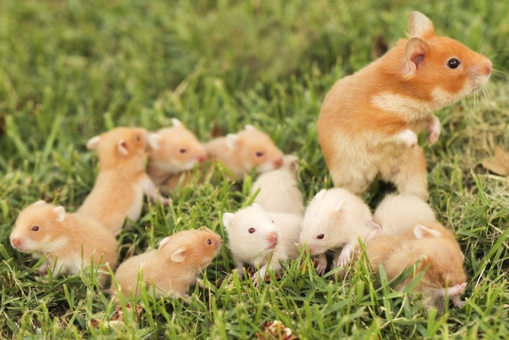 Syrian-hamster-is-considered-long-lived-age-of-life-is-on-average-from-3-to-5-years