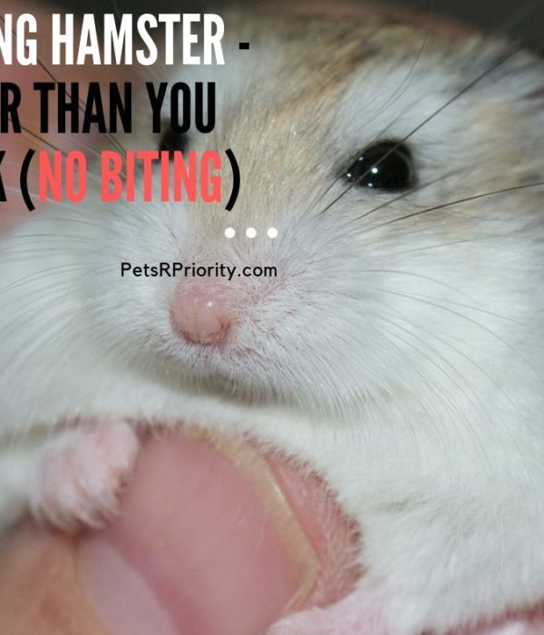 Taming Hamster – Easier Than You Think (No Biting)