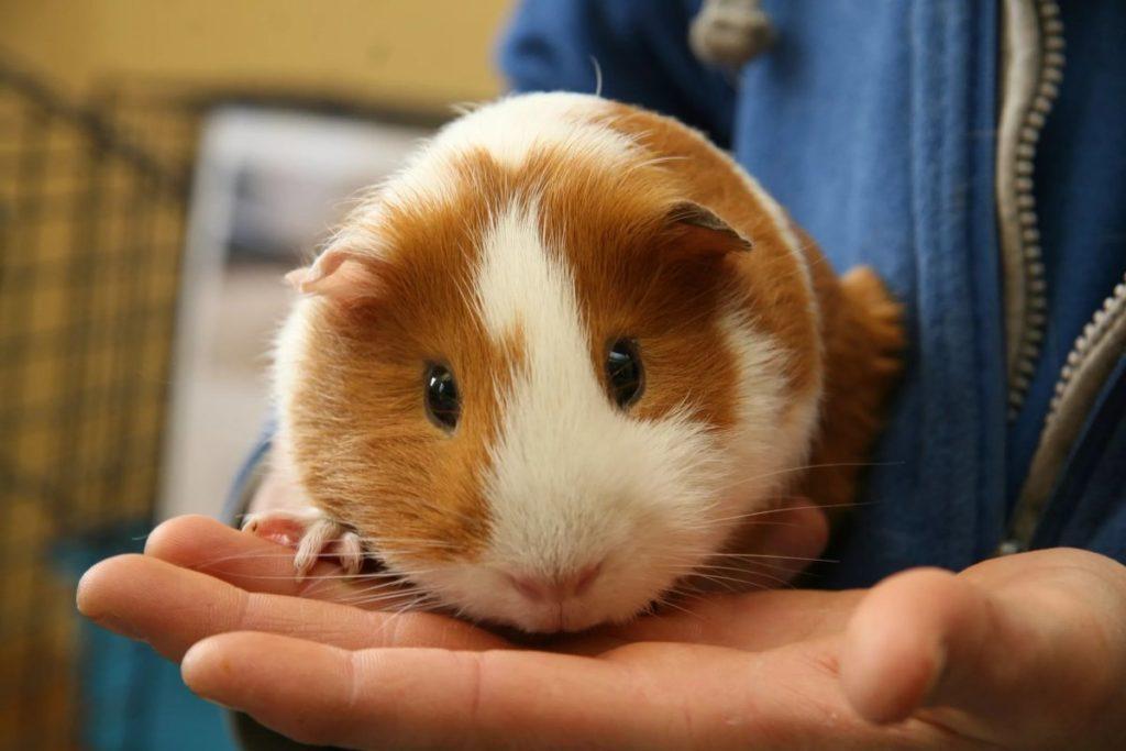 The Guinea Pig as Pet
