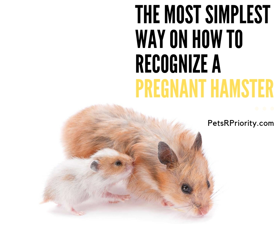 The Most Simplest Way on How to recognize a pregnant hamster