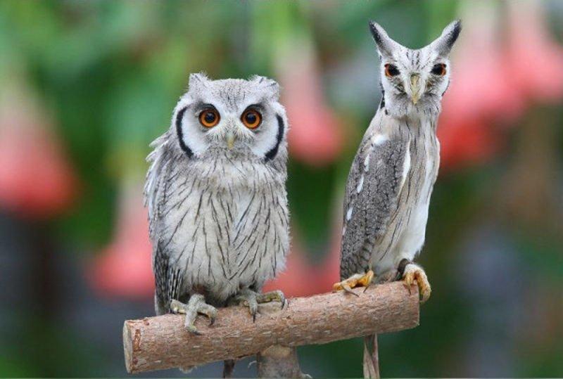The myth of belonging to the genus Owl