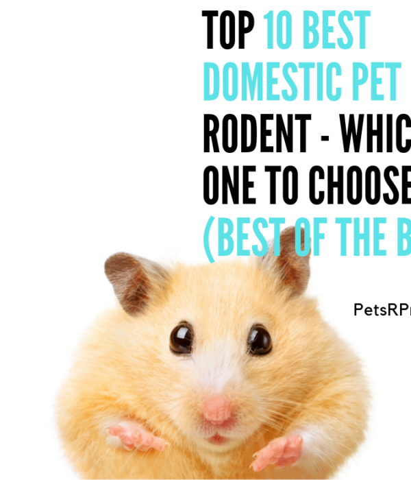 Best Domestic Pet Rodent