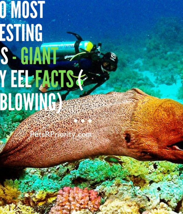 Top 10 Most Interesting Things - Giant Moray Eel Facts ( Mind-Blowing)