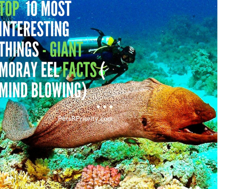 Top  10 Most Interesting Things – Giant Moray Eel Facts ( Mind-Blowing)
