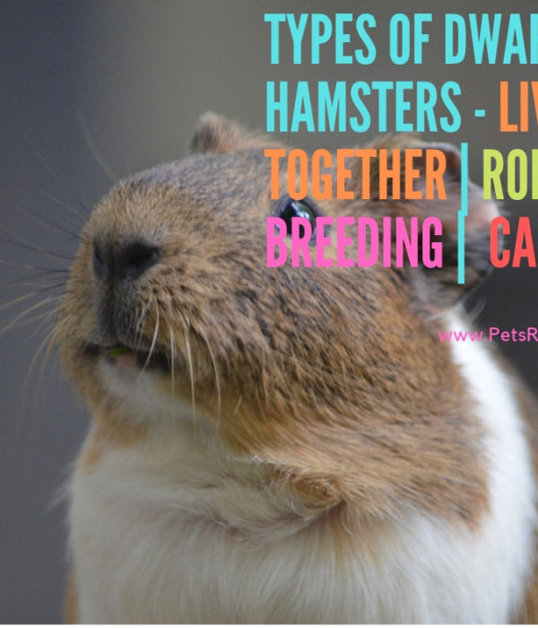 Types of Dwarf Hamsters – Living Together | Robo Breeding | Caring