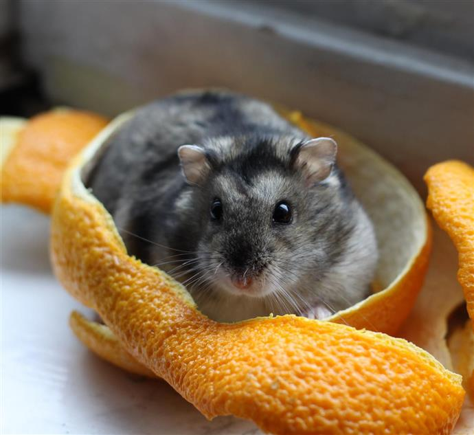 Types of Dwarf Hamsters