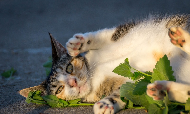 can cats eat catnip