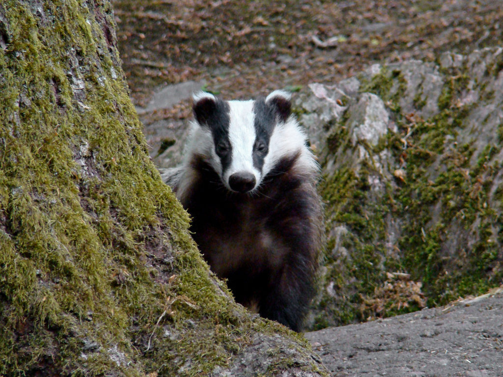 incredibly clean Badgers