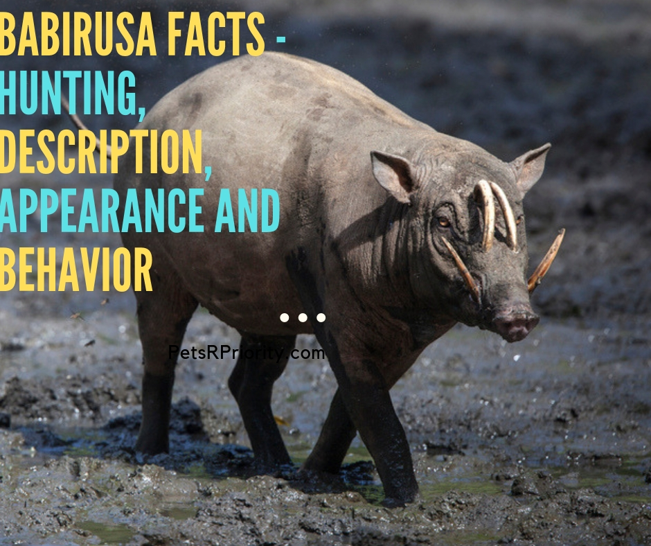 Babirusa Facts - Hunting, Description, Appearance and Behavior