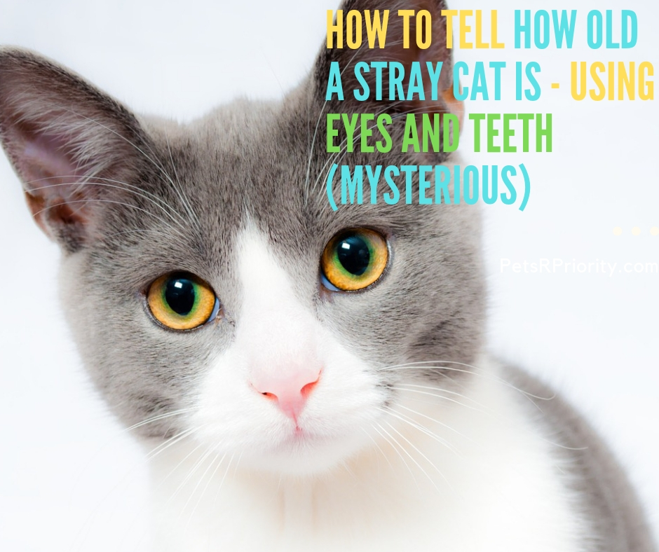 How to Tell How old a Stray Cat Is - Using Eyes and Teeth ( Mysterious)