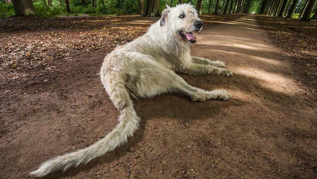longest tail in the world is the Irish Wolfhound named Keon