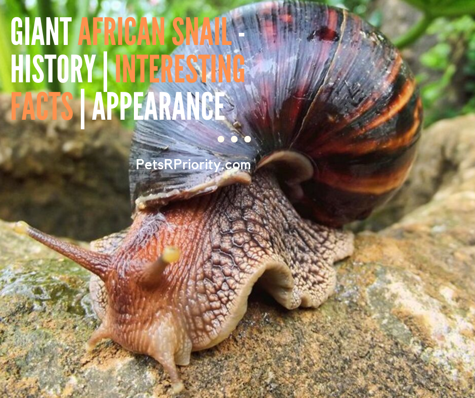 Giant African Snail - History | interesting Facts | Appearance