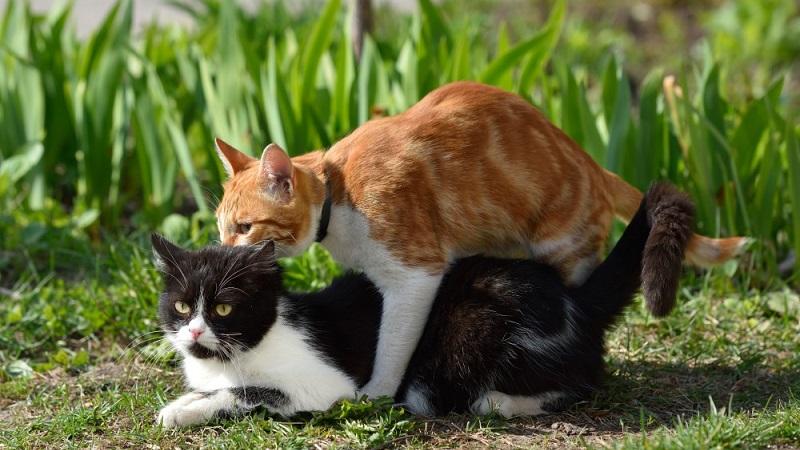 How to calm a cat during estrus